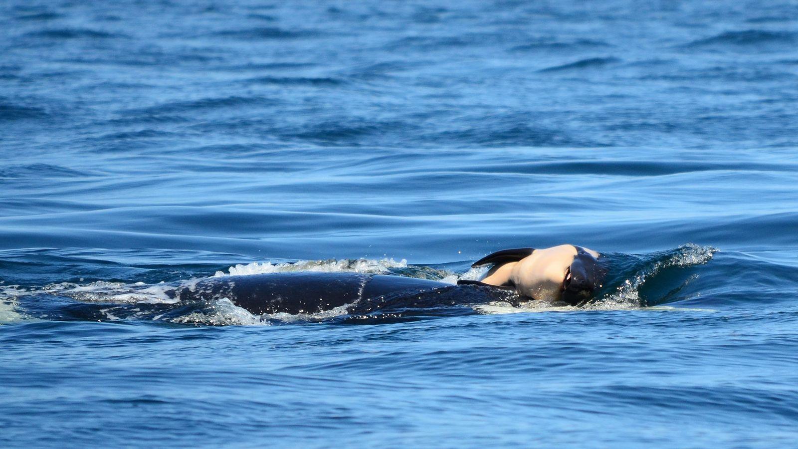 Uma orca conhecida por J35 no Pacífico Nordeste carrega o corpo da sua cria morta.
