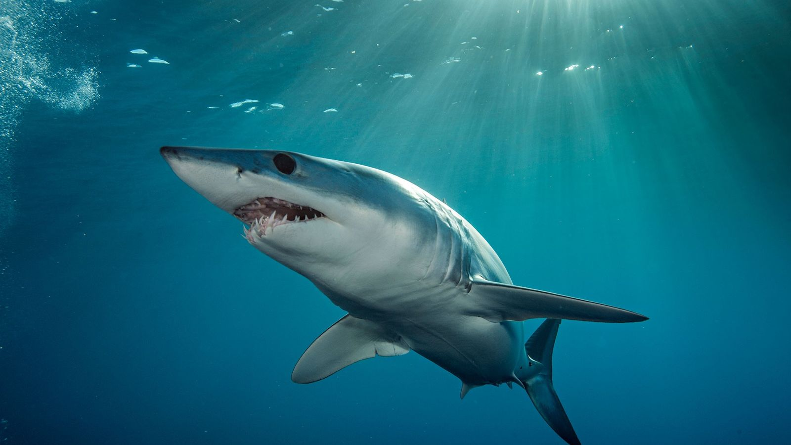 Um tubarão-anequim.