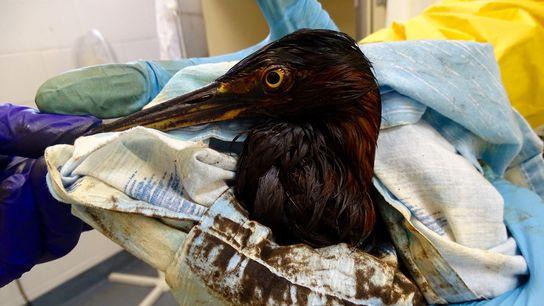 Uma garça-verde coberta de petróleo chega ao Centro Internacional de Resgate de Aves do sul da ...