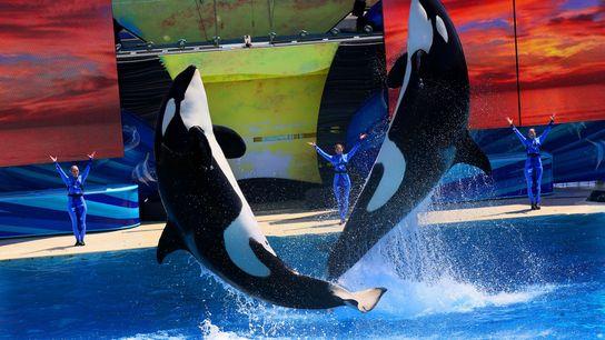 Orcas no espetáculo do SeaWorld em San Diego, em 2014. Estes mamíferos são altamente inteligentes e ...