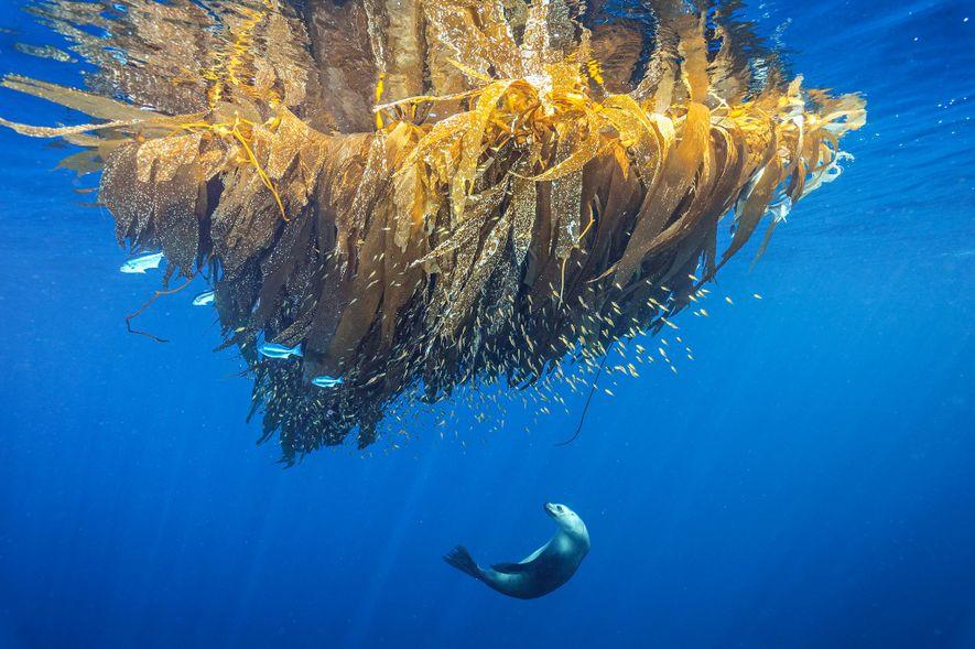 Um leão-marinho da Califórnia a pescar numa almofada de algas, em Cortes Bank, uma montanha submarina ...