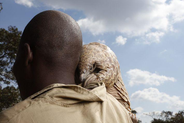 Um pangolim resgatado de caçadores ilegais, olha por cima do ombro do seu tratador, num centro ...