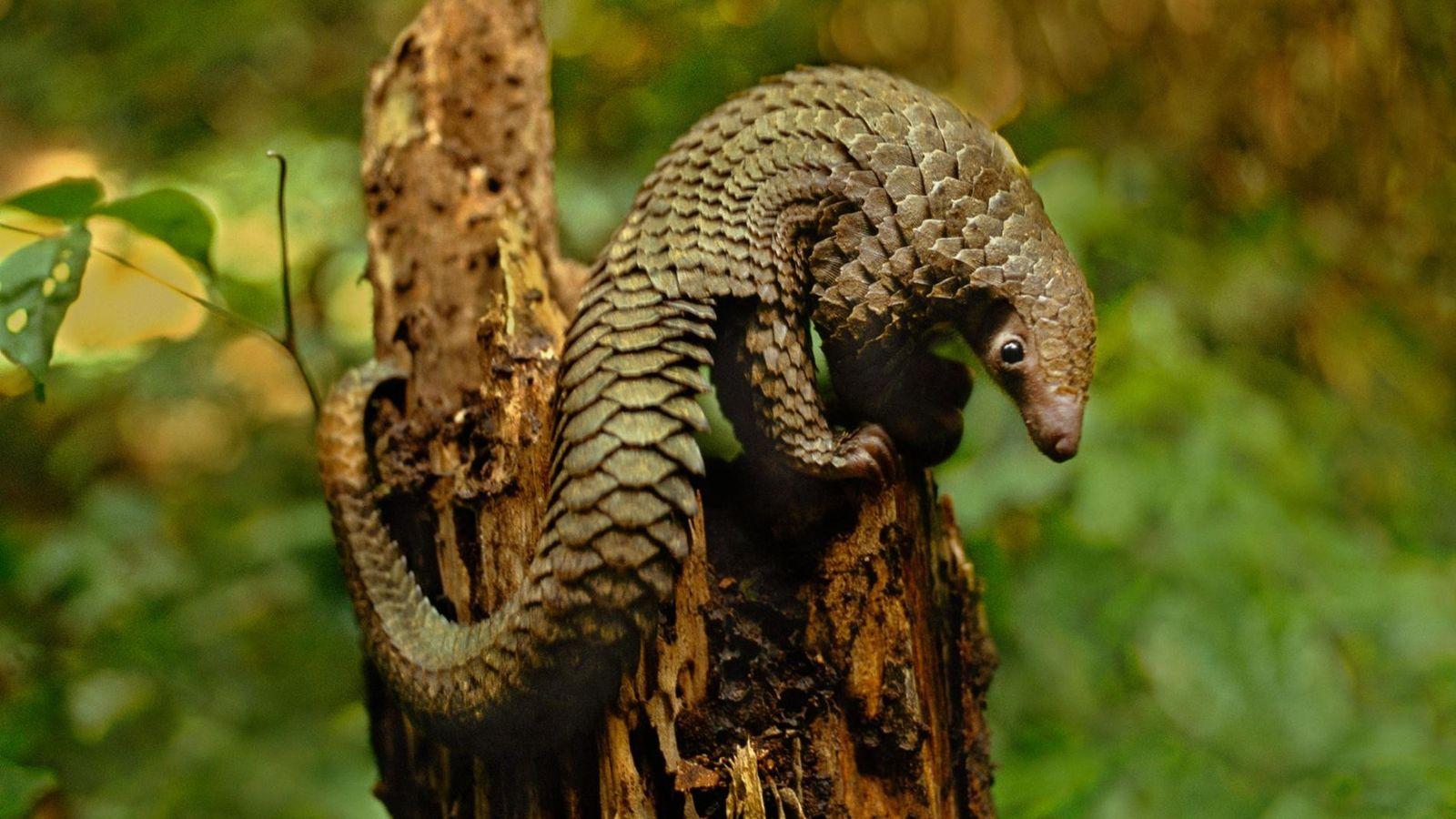 Um pangolim-de-cauda-longa, Manis tetradactyla, na República Democrática do Congo.