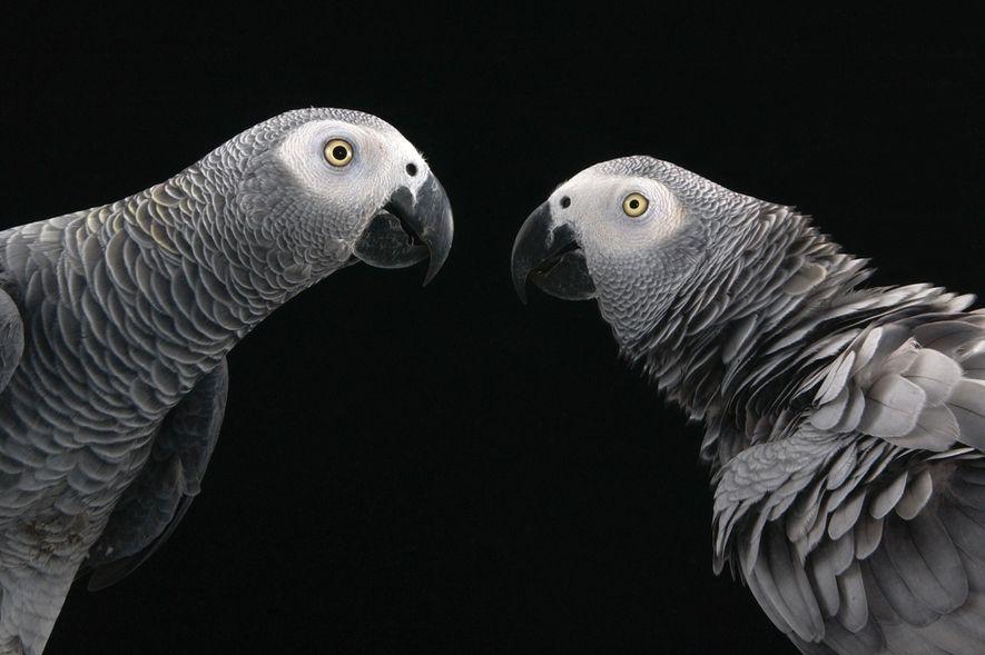Os papagaios-cinzentos estão entre as aves com capacidades sociais mais complexas, e são animais de estimação ...