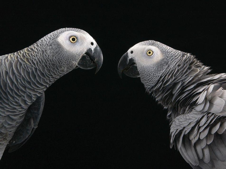 Novo Estudo: os Papagaios Entreajudam-se