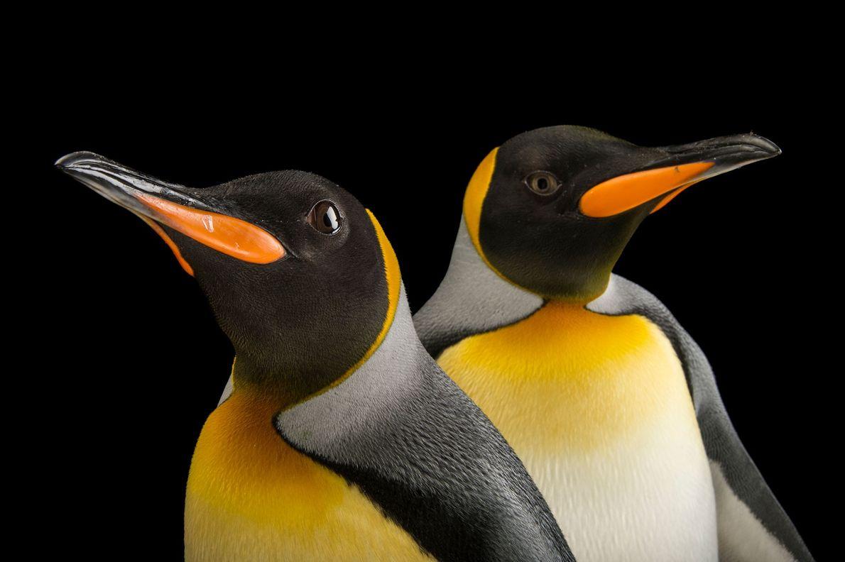 Pinguins-rei da Geórgia do Sul (Aptenodytes patagonicus)