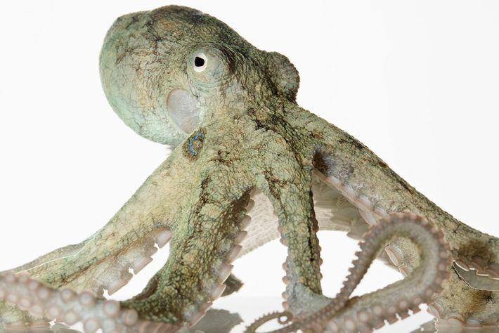 As espécies mais comuns de polvos não vivem mais do que dois anos. Algumas espécies, como ...