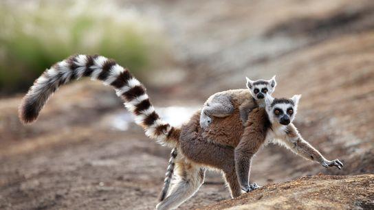 Os lémures-de-cauda-anelada macho emitem um odor sedutor para as fêmeas (na fotografia vemos uma progenitora e ...