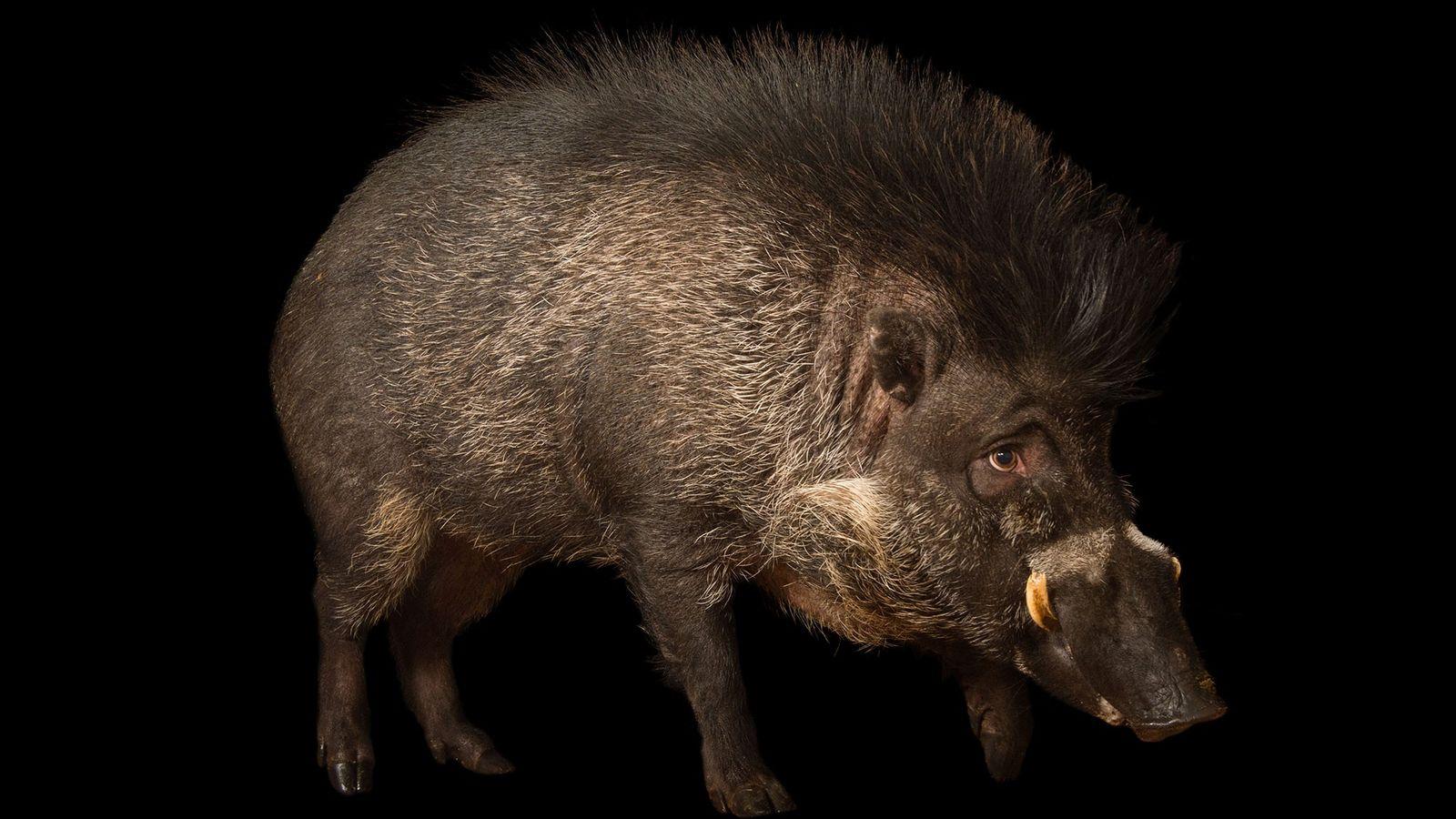 Só existem cerca de 300 javalis das Visayas em cativeiro (animal aqui retratado no Zoo do ...