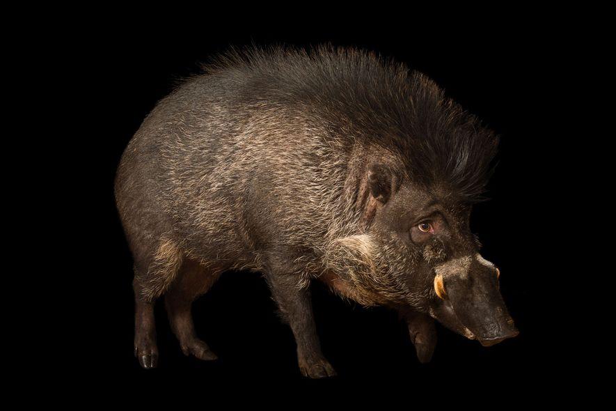 Porcos Registados a Usar Ferramentas Pela Primeira Vez