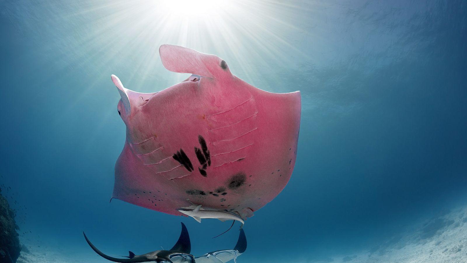 Quando o fotógrafo percebeu que a raia, fotografada perto da Ilha Lady Elliot, era realmente cor-de-rosa, ...
