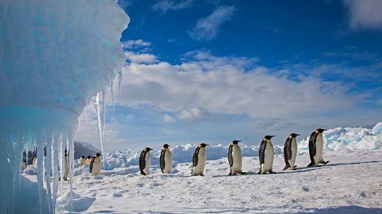 Pinguins-imperador a marchar ao longo do gelo no cabo Washington, no mar de Ross, na Antártida. ...