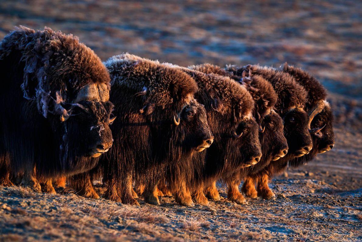 Os bois-almiscarados, vistos aqui na Ilha Ellesmere de Nunavut, têm coberturas de pelo grossas e felpudas ...