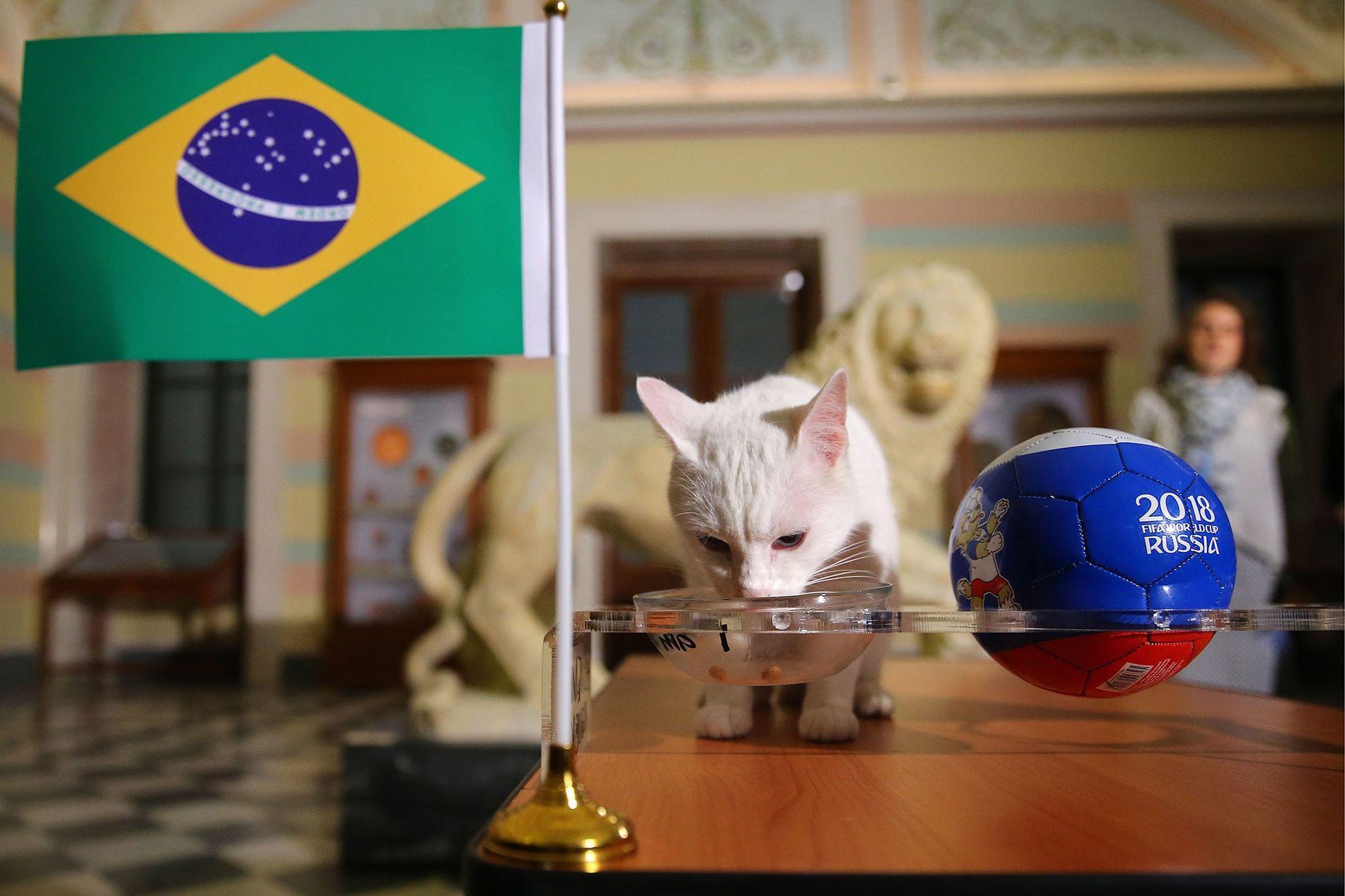 Aquiles, o gato, um animal vidente do Mundial de Futebol de 2018 da FIFA.
