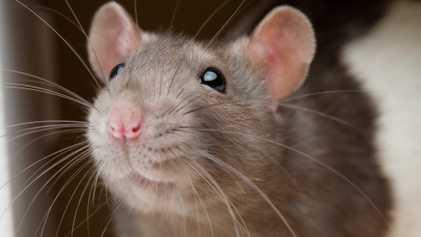 Ratos Evitam Magoar Outros Ratos – Descoberta Pode Ajudar a Compreender Sociopatas