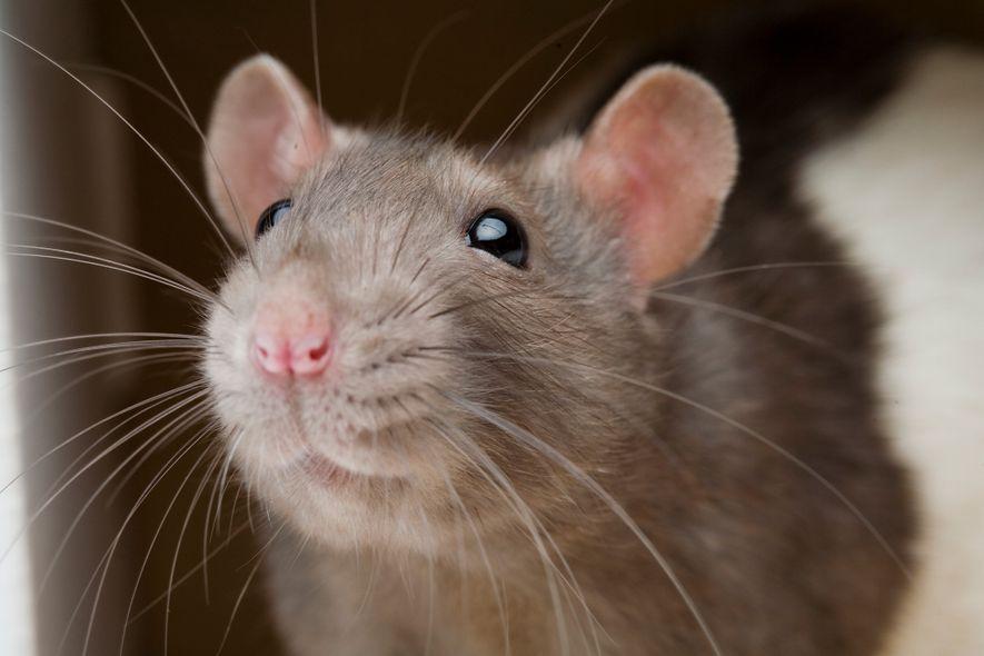Os ratos e os humanos partilham a mesma parte do cérebro que regula a aversão à ...