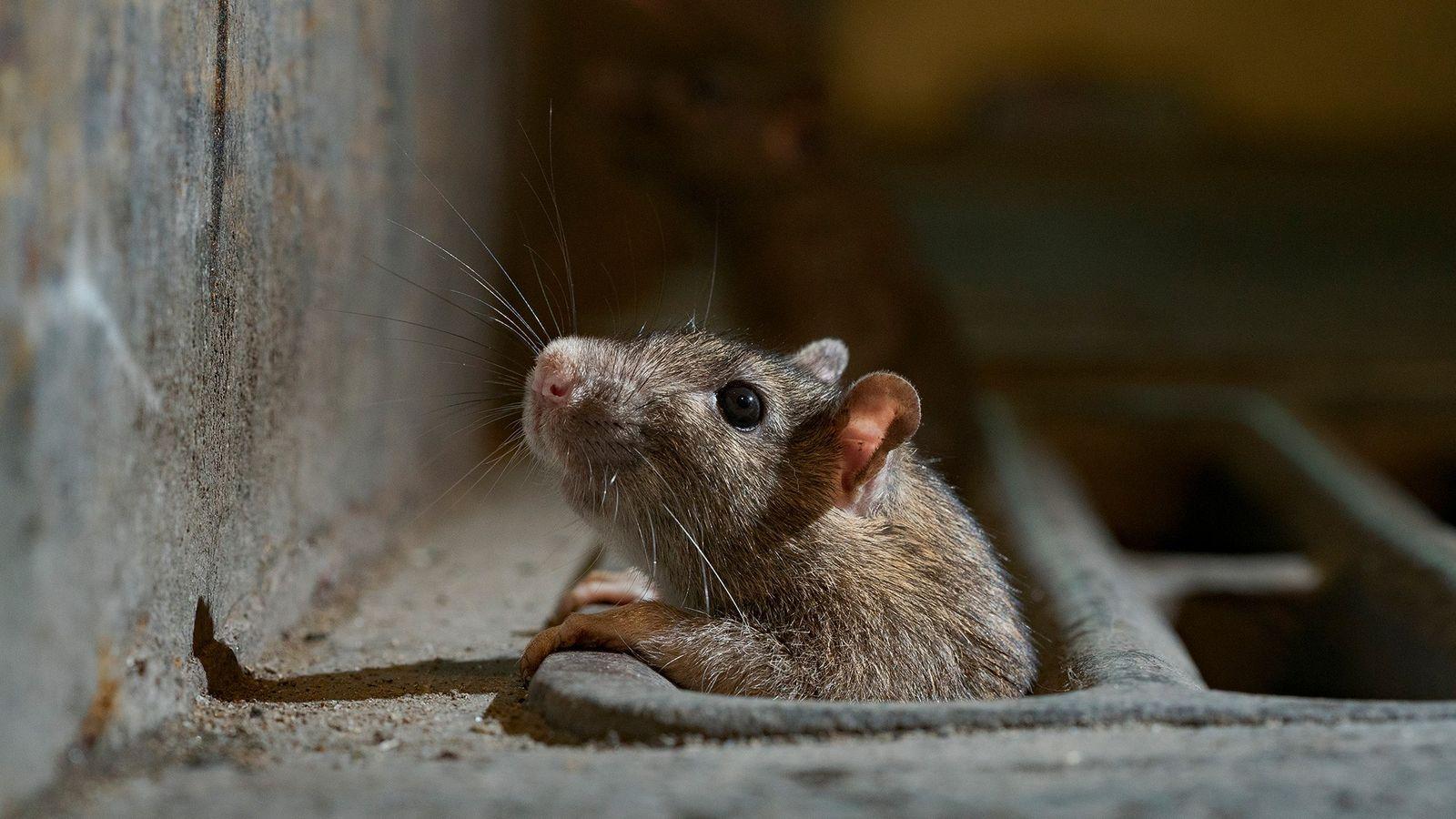 Um rato a espreitar através de uma grelha de captação de águas pluviais na cidade de ...