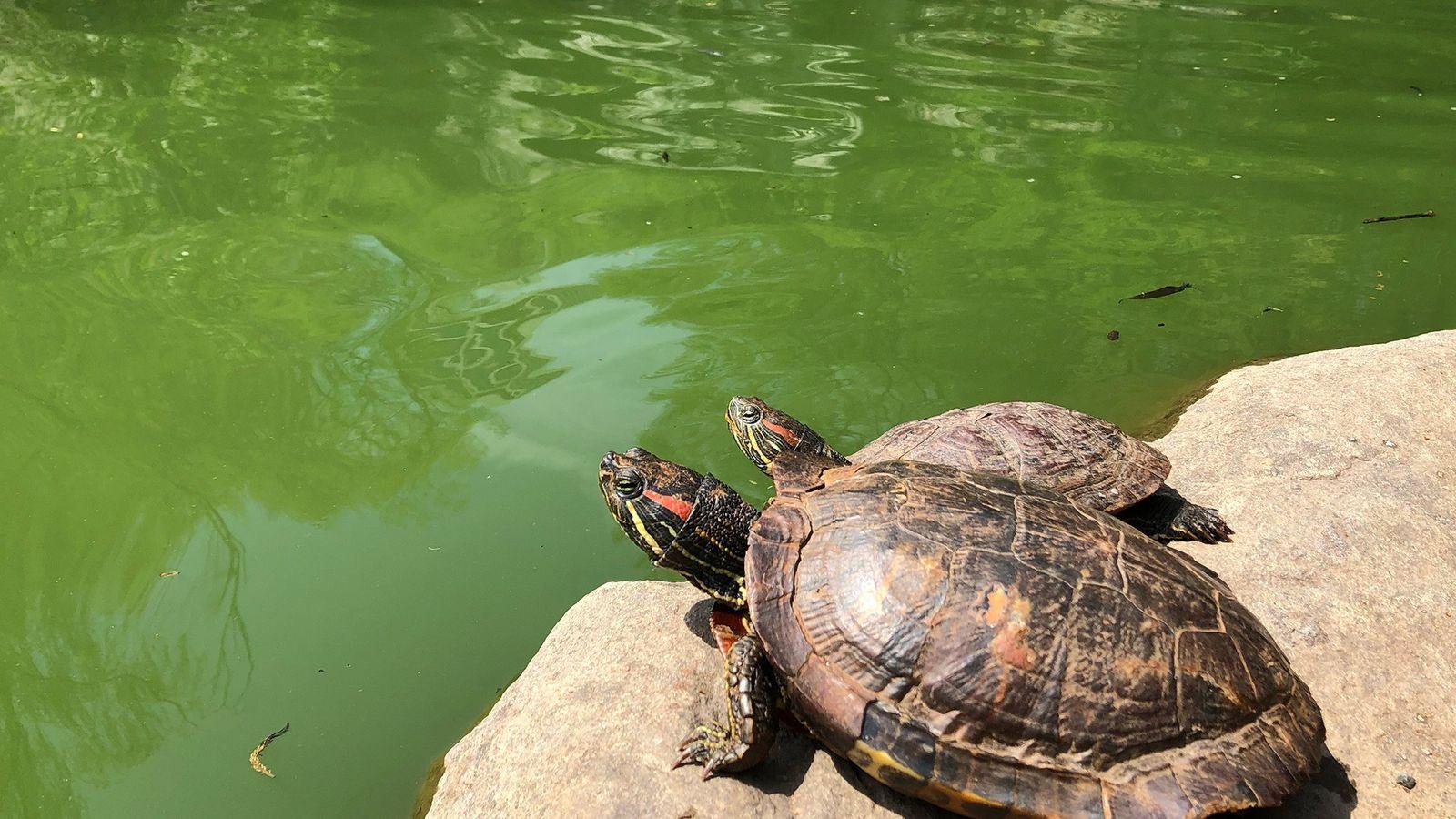 Duas tartarugas-de-orelha-vermelha – provavelmente antigos animais de estimação – nas pedras do Lago Morningside, no Upper ...