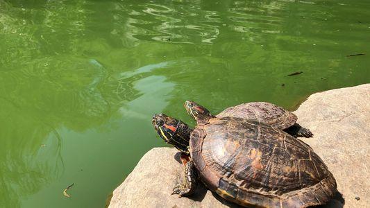 A Cidade de Nova Iorque tem um Problema com Tartarugas