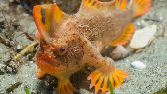peixe-mão-vermelho