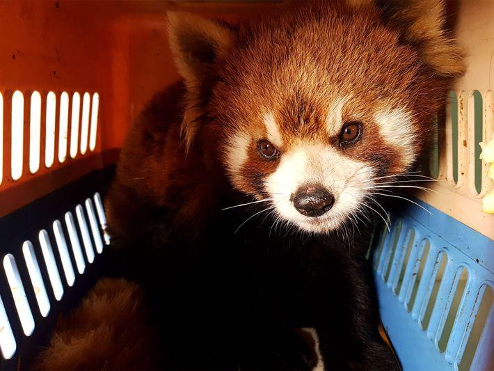 Resgate de Pandas-vermelhos