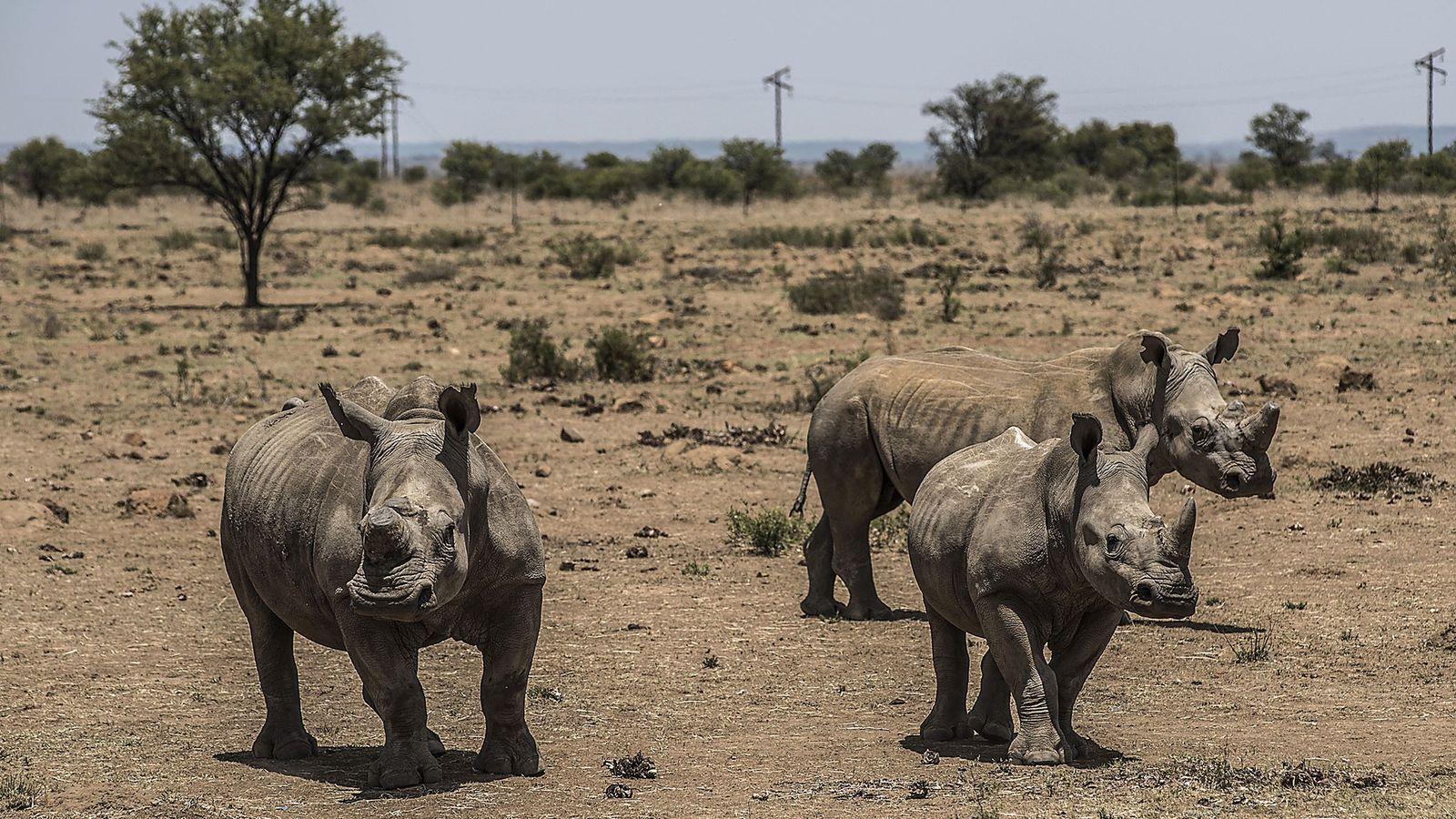Comercialização de Chifres de Rinoceronte