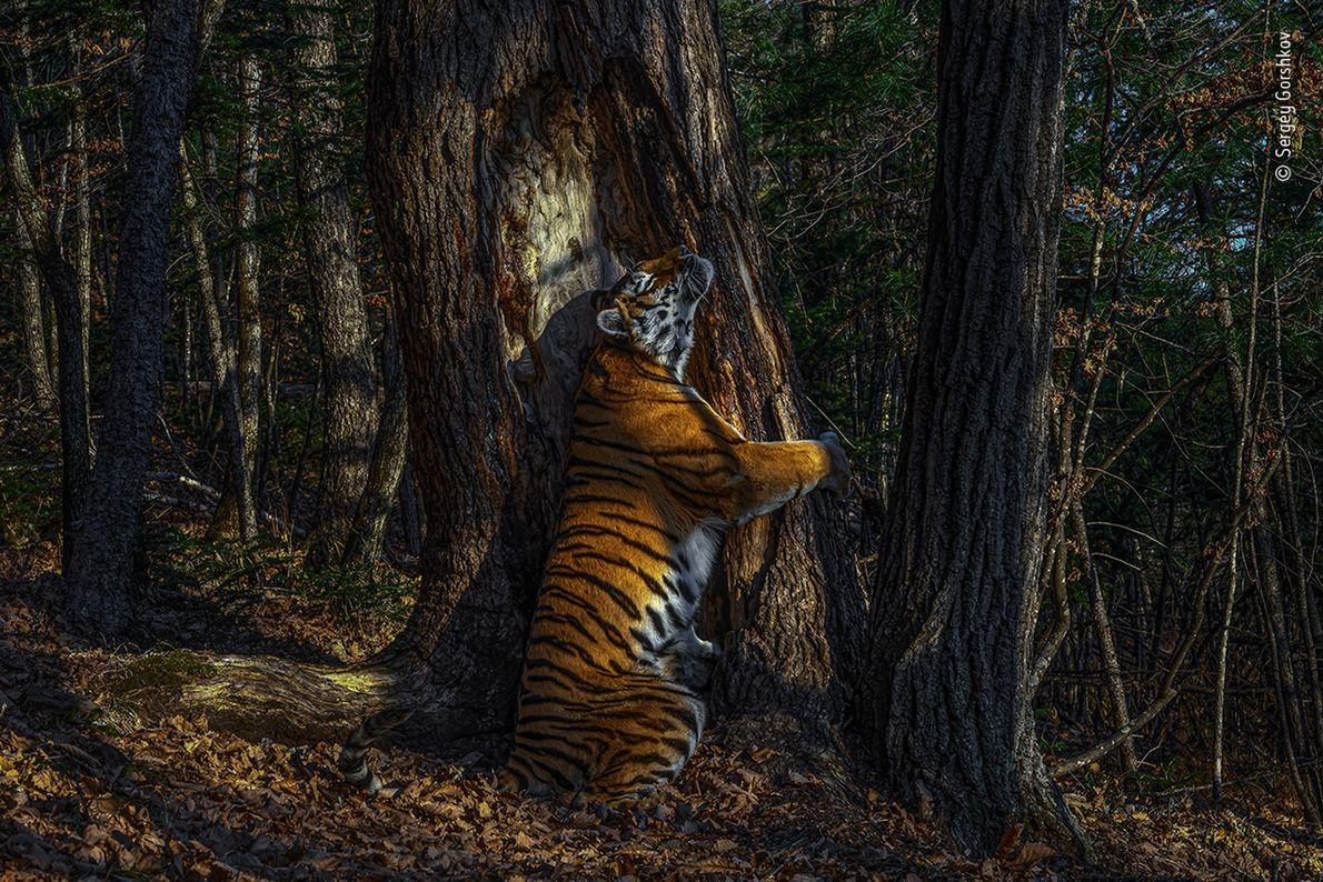 Uma imagem rara e esperançosa de um tigre-siberiano no Extremo Oriente da Rússia concedeu ao fotógrafo ...