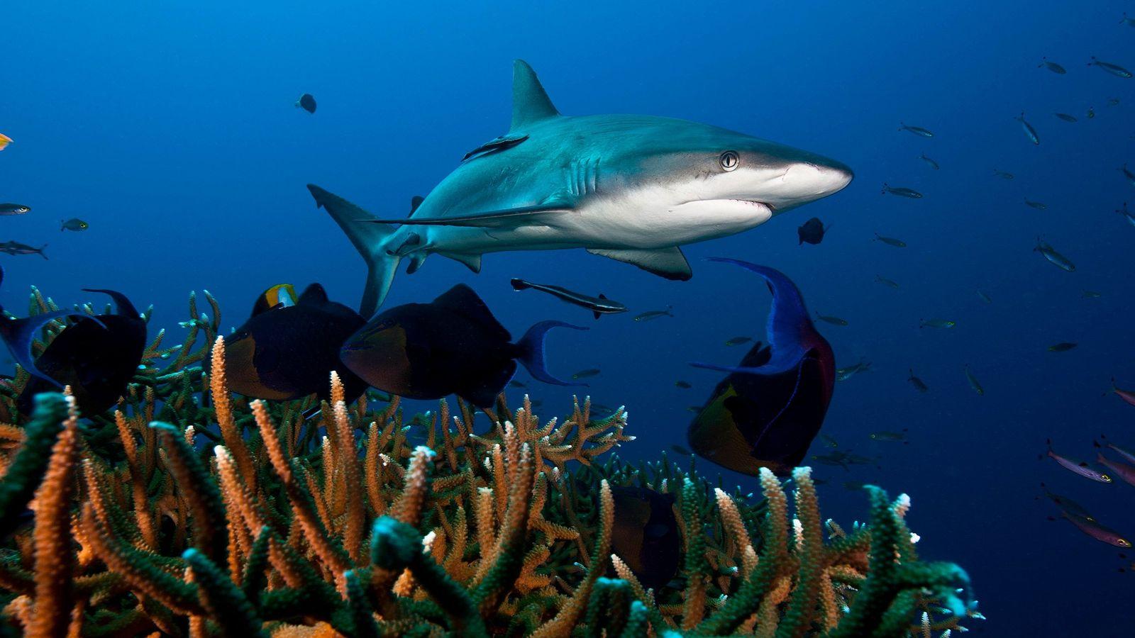 O tubarão-cinzento-do-recife, visto aqui em Kimbe Bay, em Papua Nova Guiné, é uma das espécies que ...
