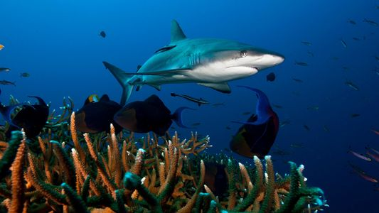 Tubarões dos Recifes em Declínio Acentuado Pelo Mundo Inteiro