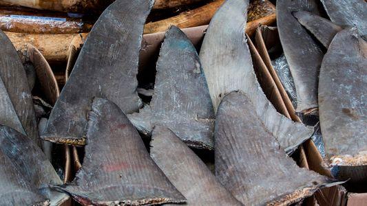 Dispositivo Portátil de Testes ADN Consegue Identificar Barbatanas de Tubarão Ilegais