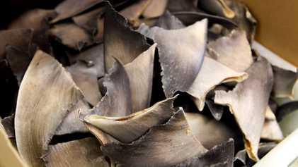 Os EUA Facilitam Inadvertidamente o Tráfico de Barbatanas de Tubarão