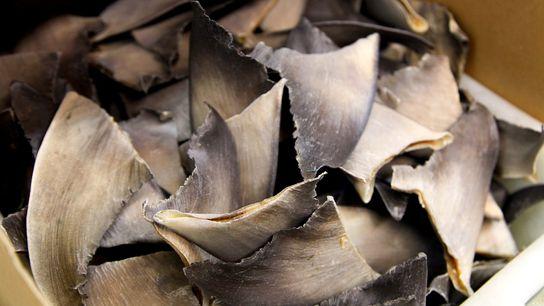 Os Estados Unidos não são um grande produtor ou consumidor de barbatanas de tubarão, mas a ...