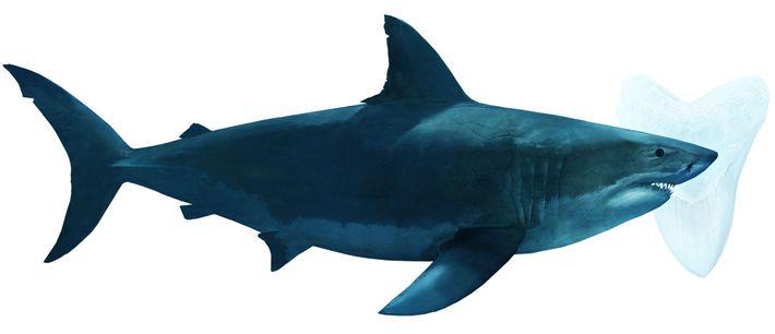 Megalodonte, espécie de tubarão completamente extinta