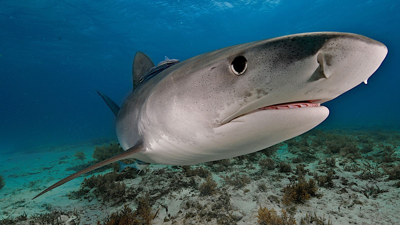 Um tubarão-tigre a nadar ao largo das Bahamas. Estes predadores comem um pouco de tudo e ...
