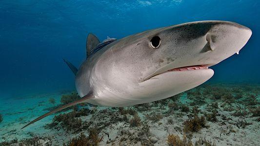 Tubarões-Tigre Gigantes Comem Pássaros 'Domésticos'