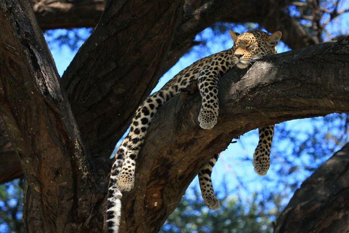 leopardo fêmea