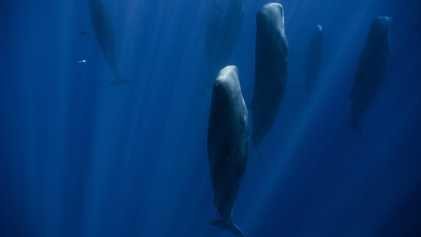 Porque Estão Estas Baleias Viradas Para Cima no Oceano?
