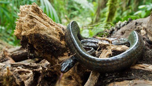 Surto Fúngico Dizima Anfíbios – Afetando Cobras Tropicais