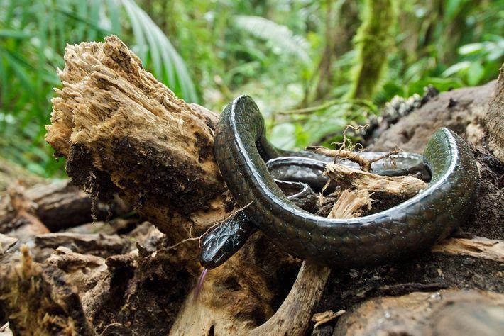 As cobras tropicais, como as da espécie 'Chironius grandisquamis', tiveram um enorme declínio após a disseminação ...