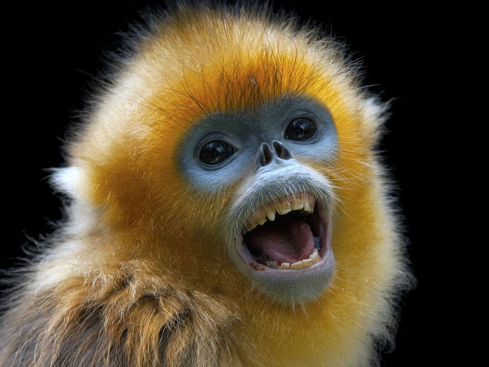 Relatos Antigos Explicam o Decréscimo das Populações de Macacos de Nariz Empinado