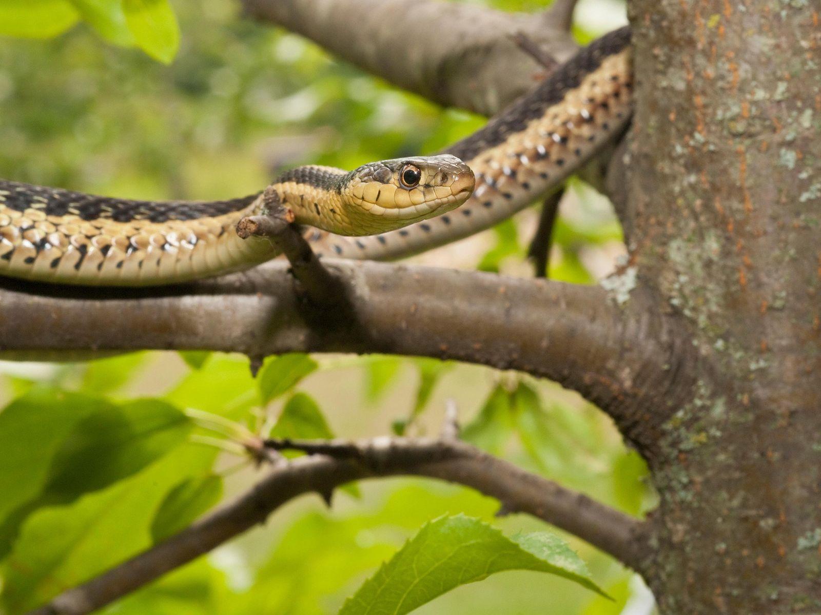 A cobra-liga oriental, Thamnophis sirtalis sirtalis, é nativa do leste da América do Norte.