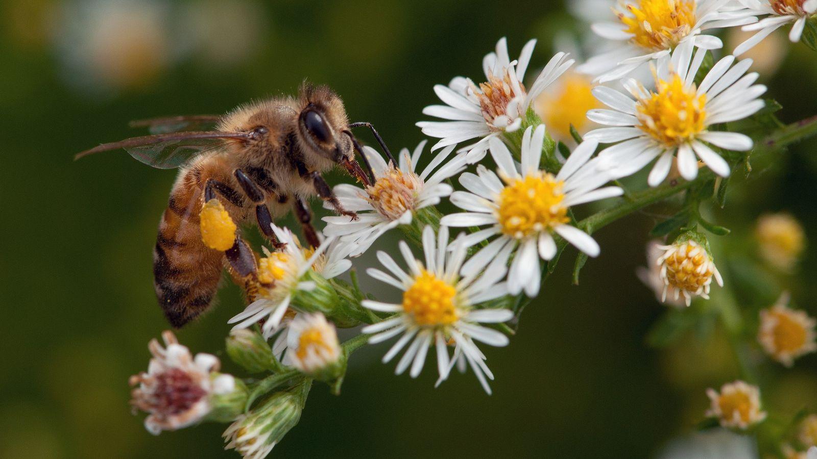 Uma abelha (Apis mellifera)