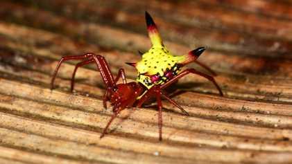 Esta Aranha Tem Uma Cauda que Parece Um Desenho Animado