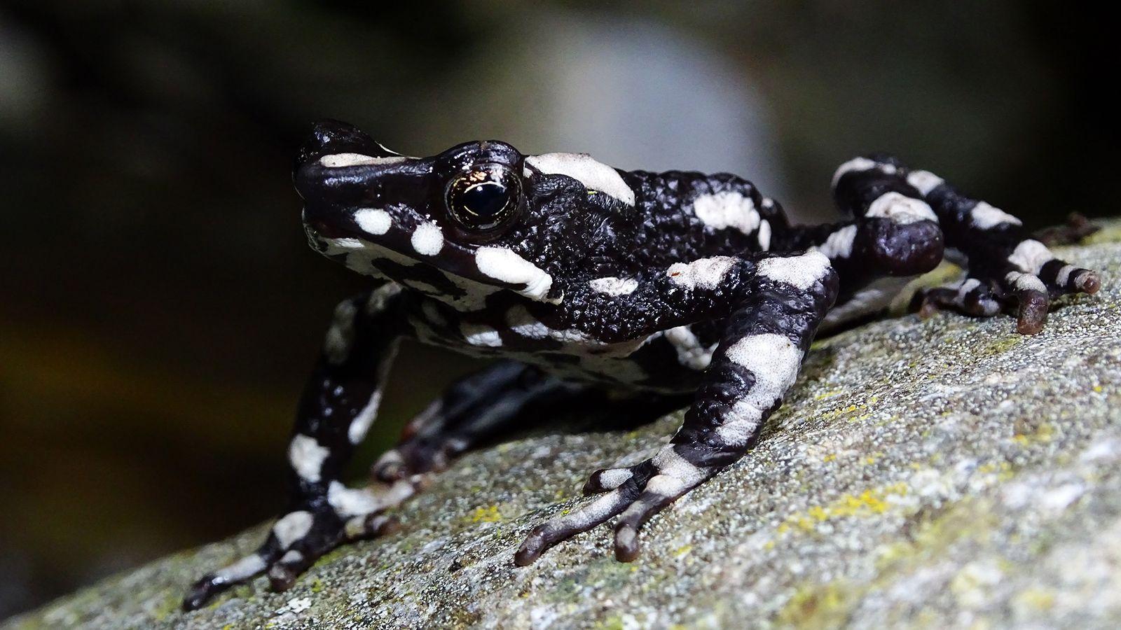 O 'sapo-arlequim-noite-estrelada' (Atelopus aryescue) tem esta designação devido aos céus limpos e estrelados do seu habitat ...