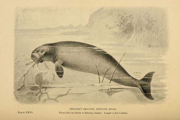 Desenho de vaca-marinha-de-steller