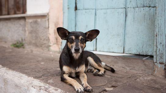 Um cão vadio no Parque Nacional da Chapada Diamantina, no Brasil. No mundo inteiro, existem cerca ...