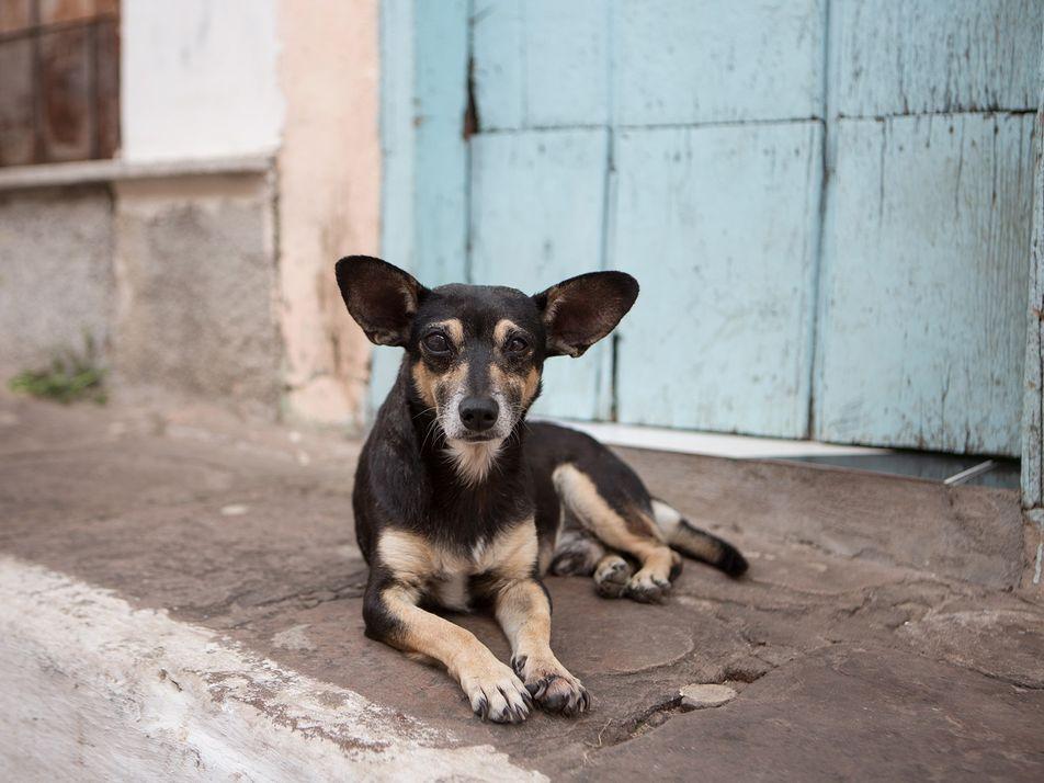 Cães Vadios Percebem Naturalmente os Gestos Humanos