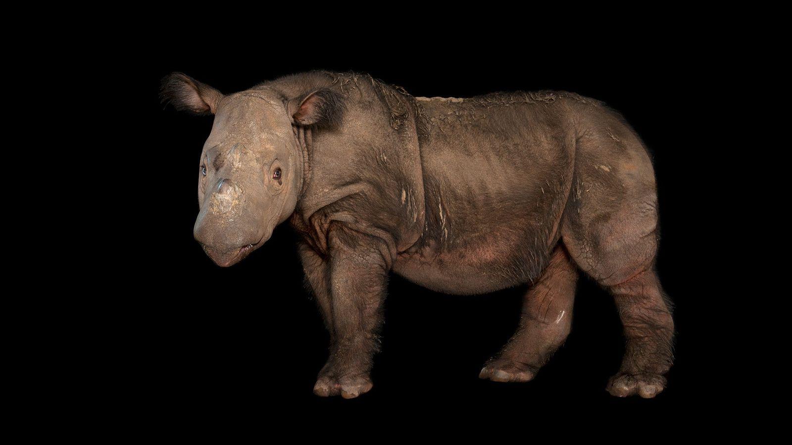 Um rinoceronte macho chamado Harapan, no Centro de Conservação de White Oak, na Flórida, onde viveu ...