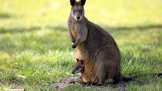 Este Marsupial é a Única Espécie que está Sempre Grávida