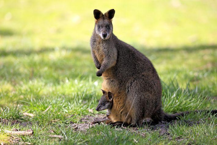 As fêmeas da espécie Wallabia bicolor, quando estão grávidas, costumam engravidar novamente dois dias antes de ...